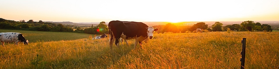 A wide angle view of rural UK with a cow looking at the lens at sunset.