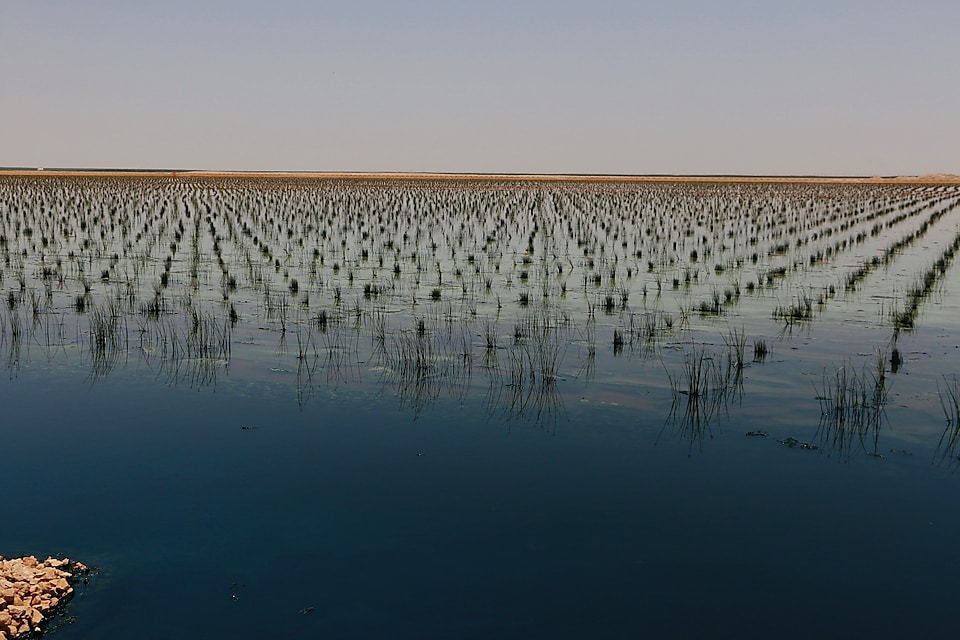 Phase 3 of the Nimr Water Treatment Plant, these young reeds were recently planted and grow in the oily produced water. Image: Marcus George