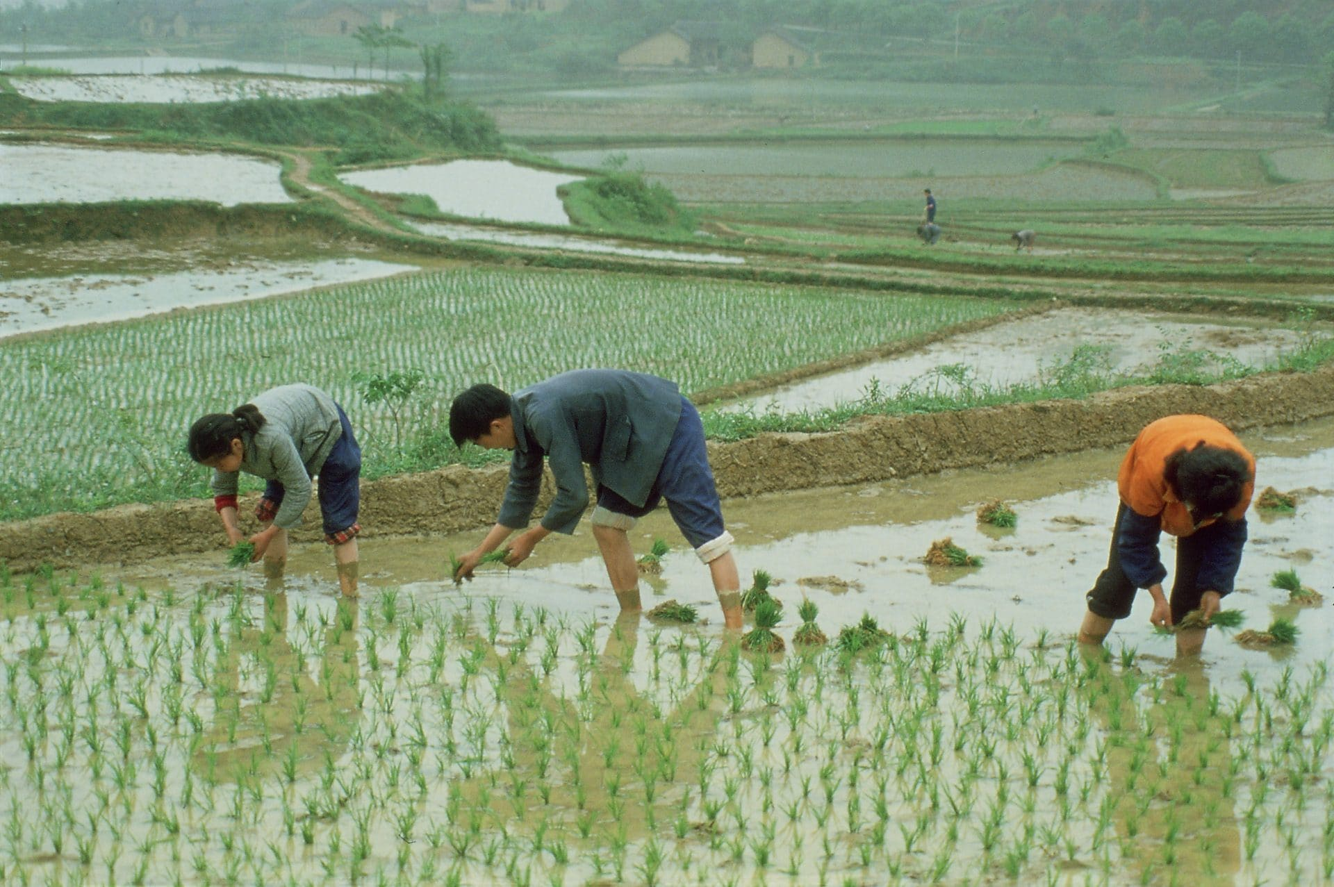 Farmers transplant rice seedlings in China's Hunan Province in Escape from Hunger (1985), which examines the challenge to provide enough food faced by rural populations in the Third World.